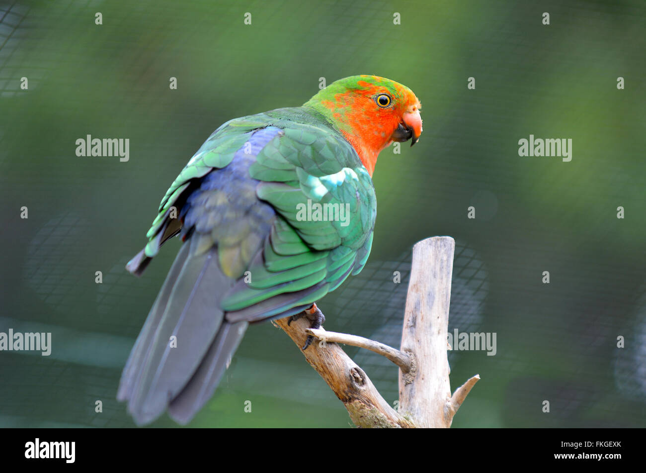 Male Australian king parrot (Alisterus scapularis) sit on a tree.It inhabit dense sub-tropical rainforests and can - Stock Image