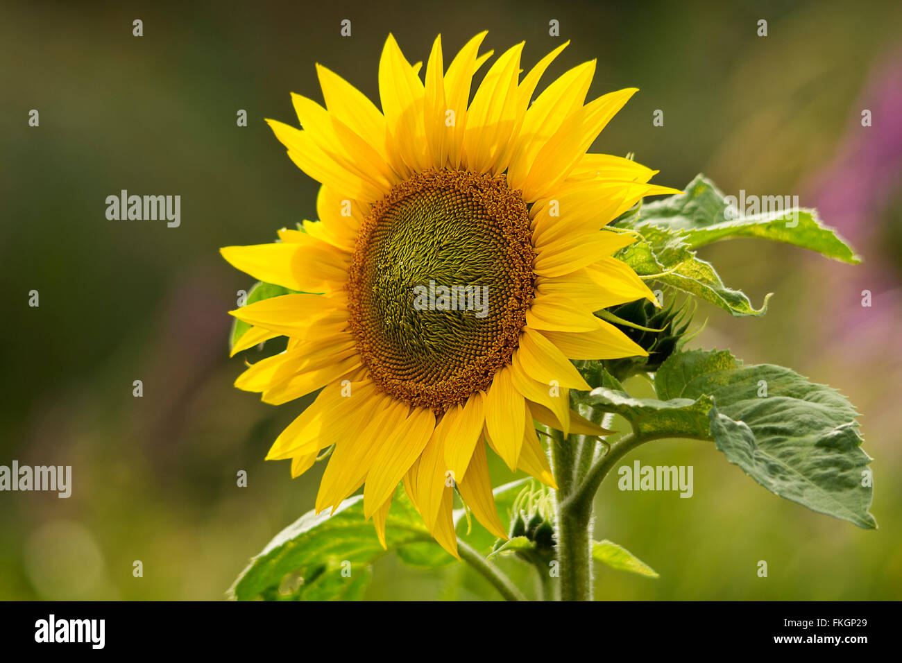 Sun Flower Helianthus Annuus Large Tall Plant Bright Yellow Flower