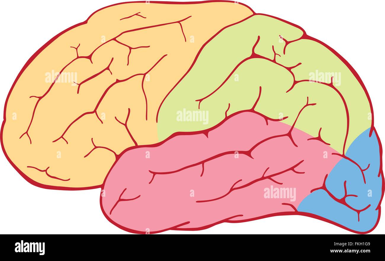 Human brain with colored areas - Stock Image