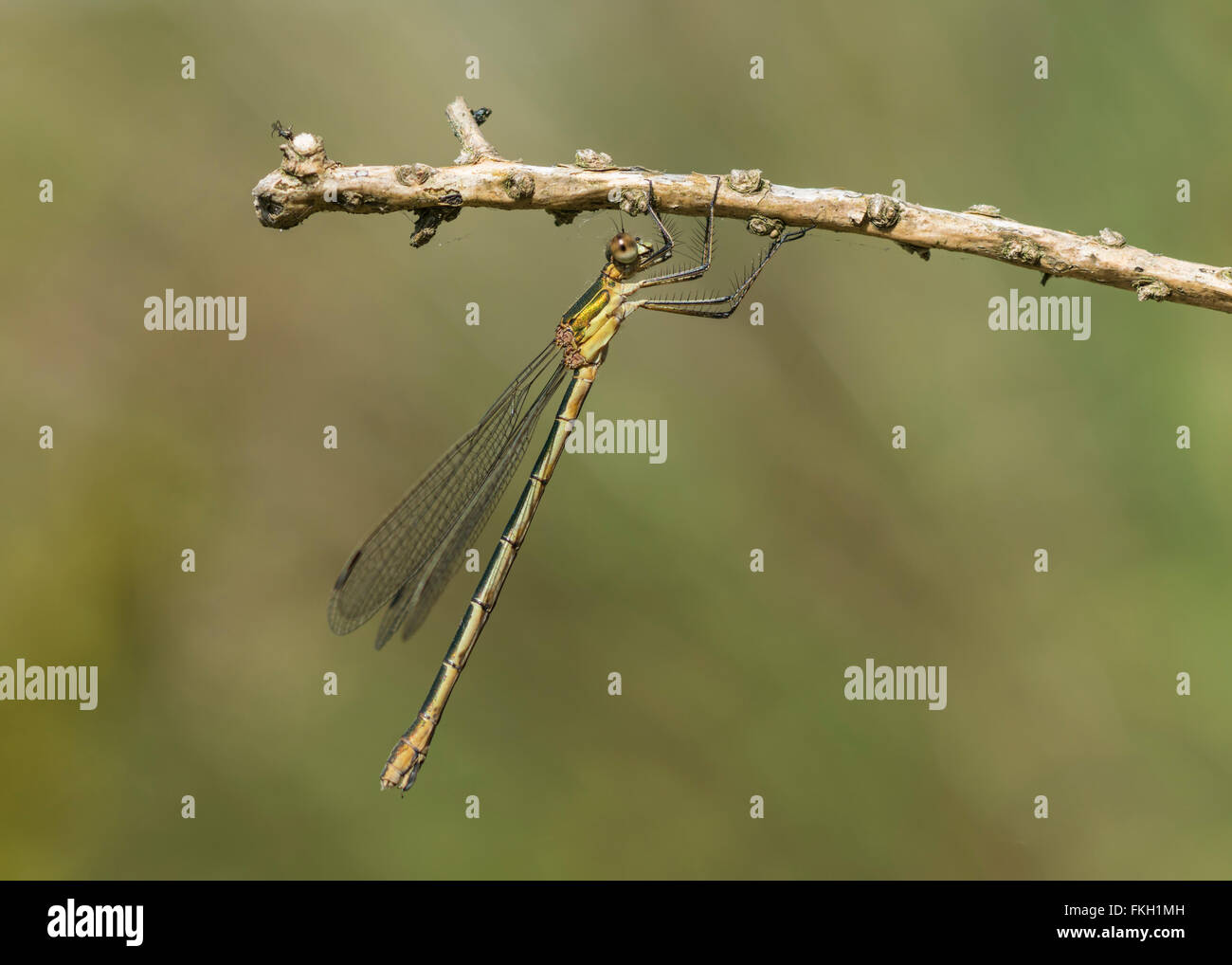 Emerald Damselfly Lestes sponsa under a twig - Stock Image