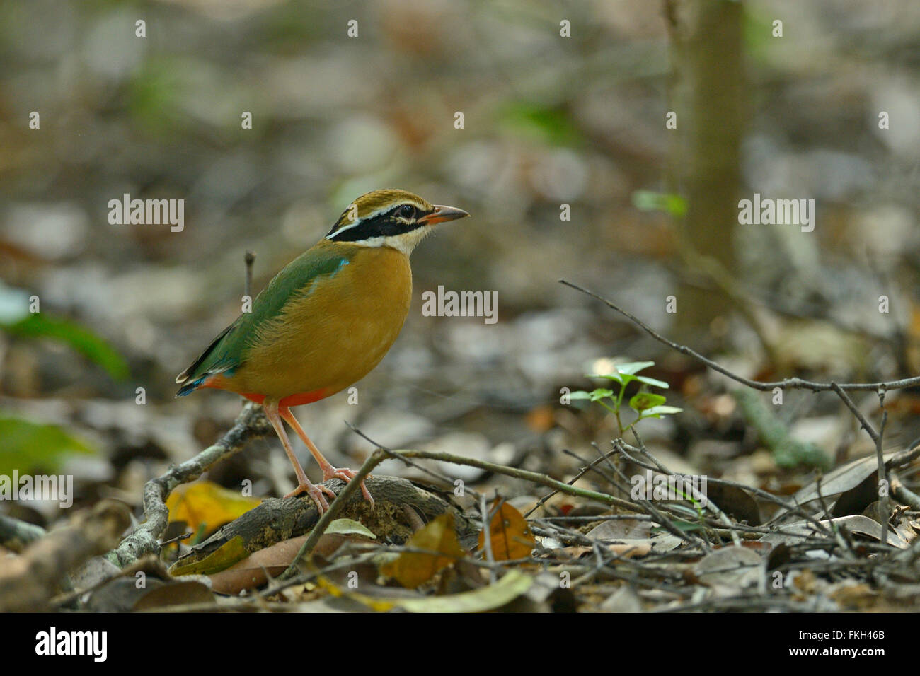 Indian pitta (Pitta brachyura) in Wilpattu national park in Sri Lanka - Stock Image