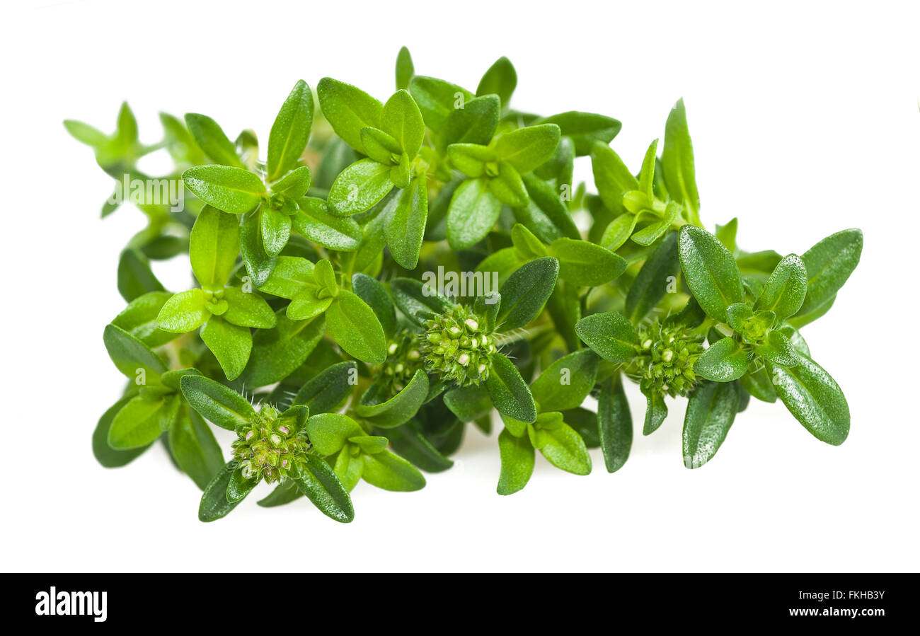 Summer savory branch isolated on white - Stock Image