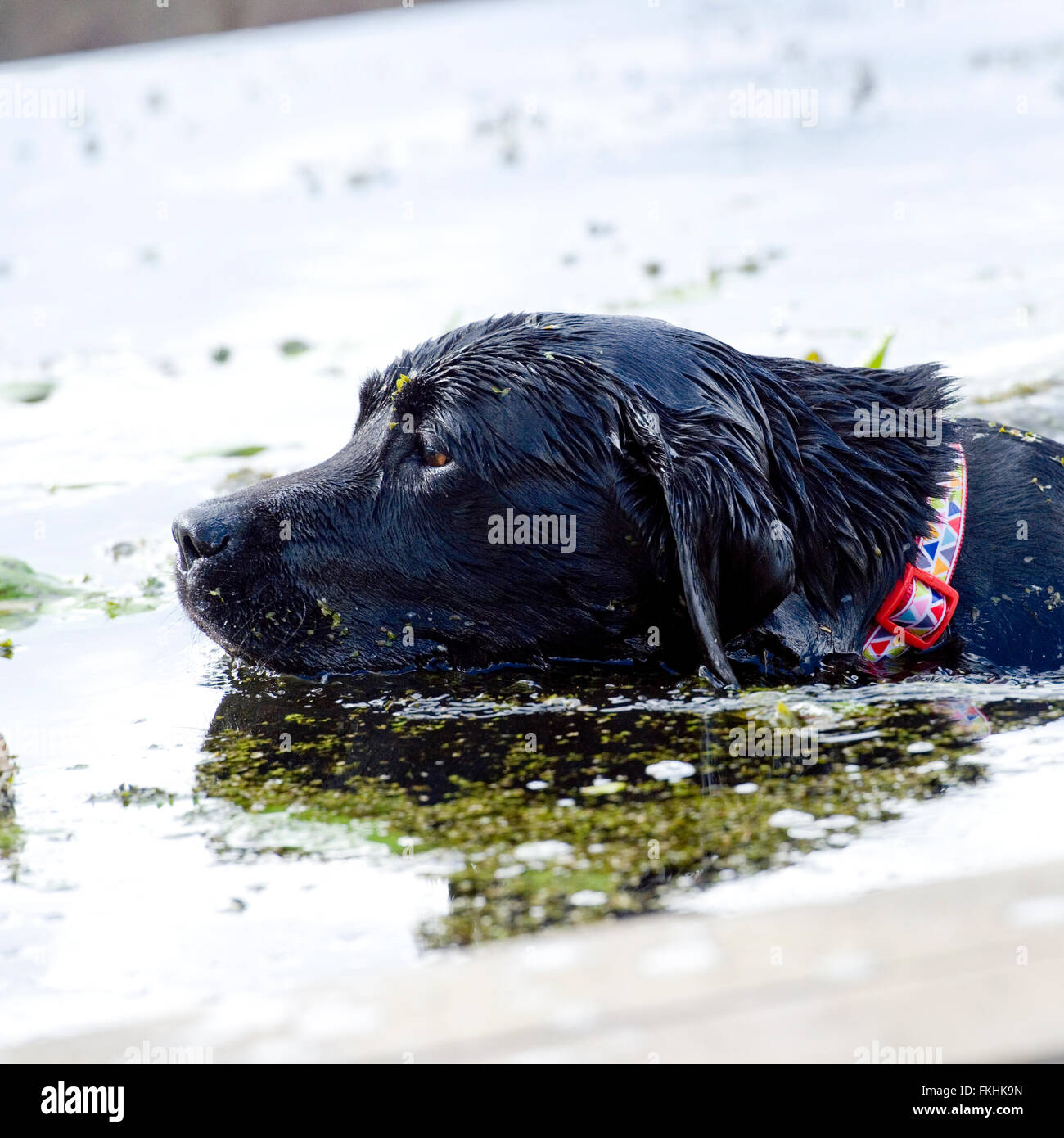 black labrador retriever swimming - Stock Image