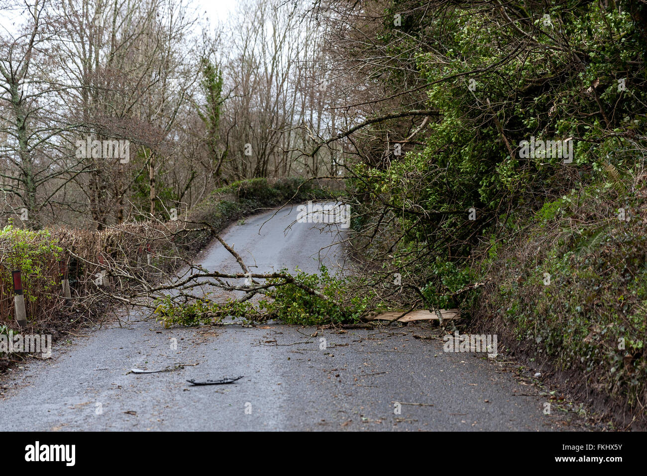 Trusham, Devon, UK. 09th Mar, 2016. High winds take down a tree in Devon. 11 AM Wednesday 9th march 2016, fallen - Stock Image