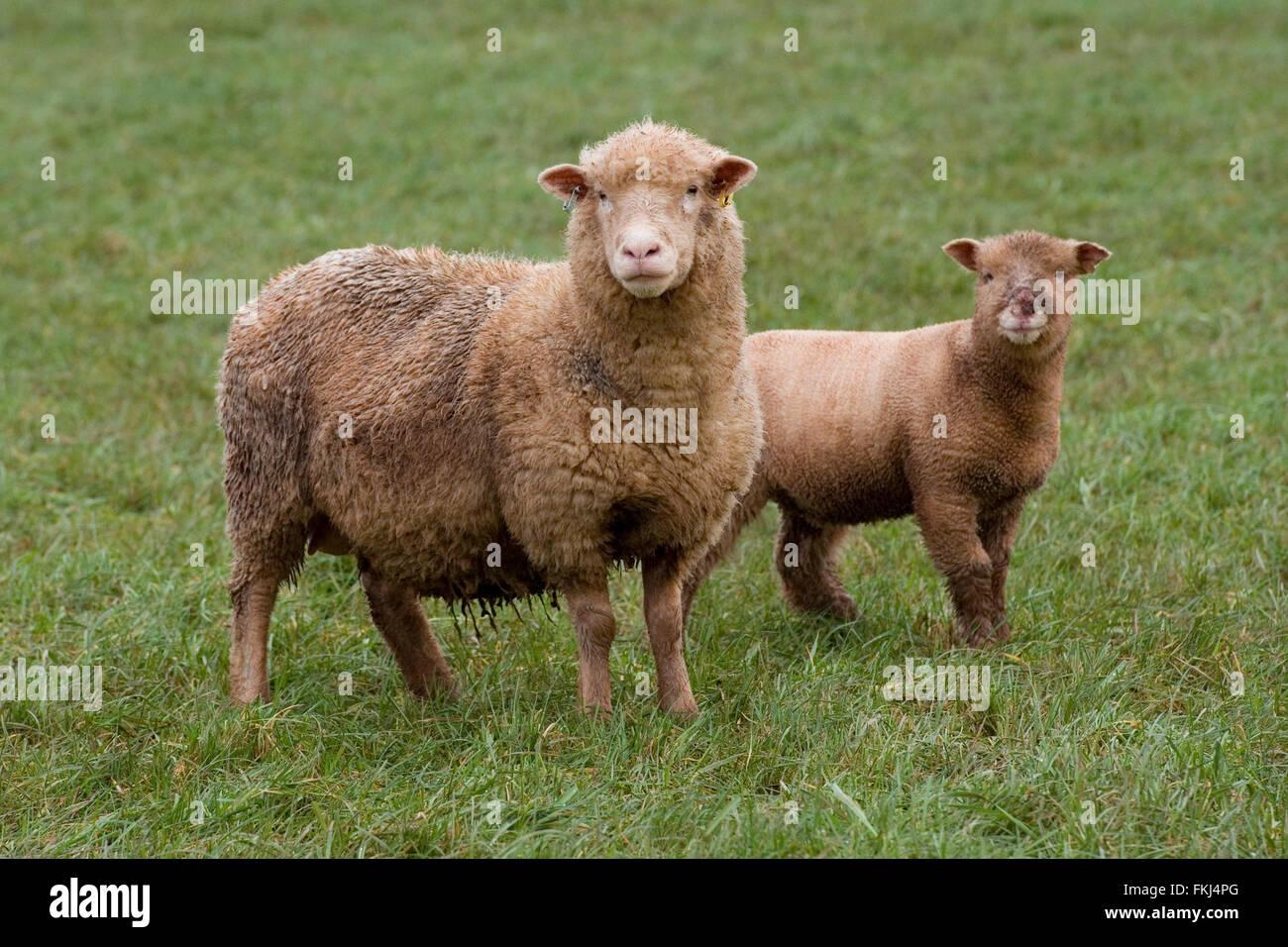 ewe with her lamb - Stock Image