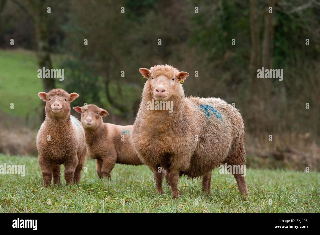 ewe and her two lambs - Stock Image