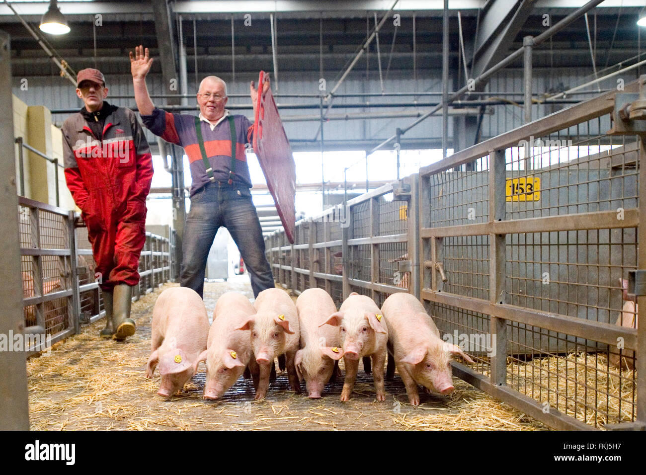 https://c8.alamy.com/comp/FKJ5H7/pigs-being-herded-at-market-FKJ5H7.jpg