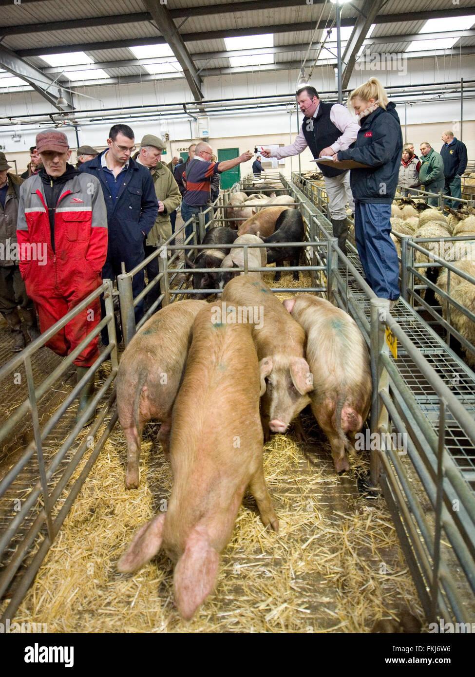 pig livestock auction - Stock Image