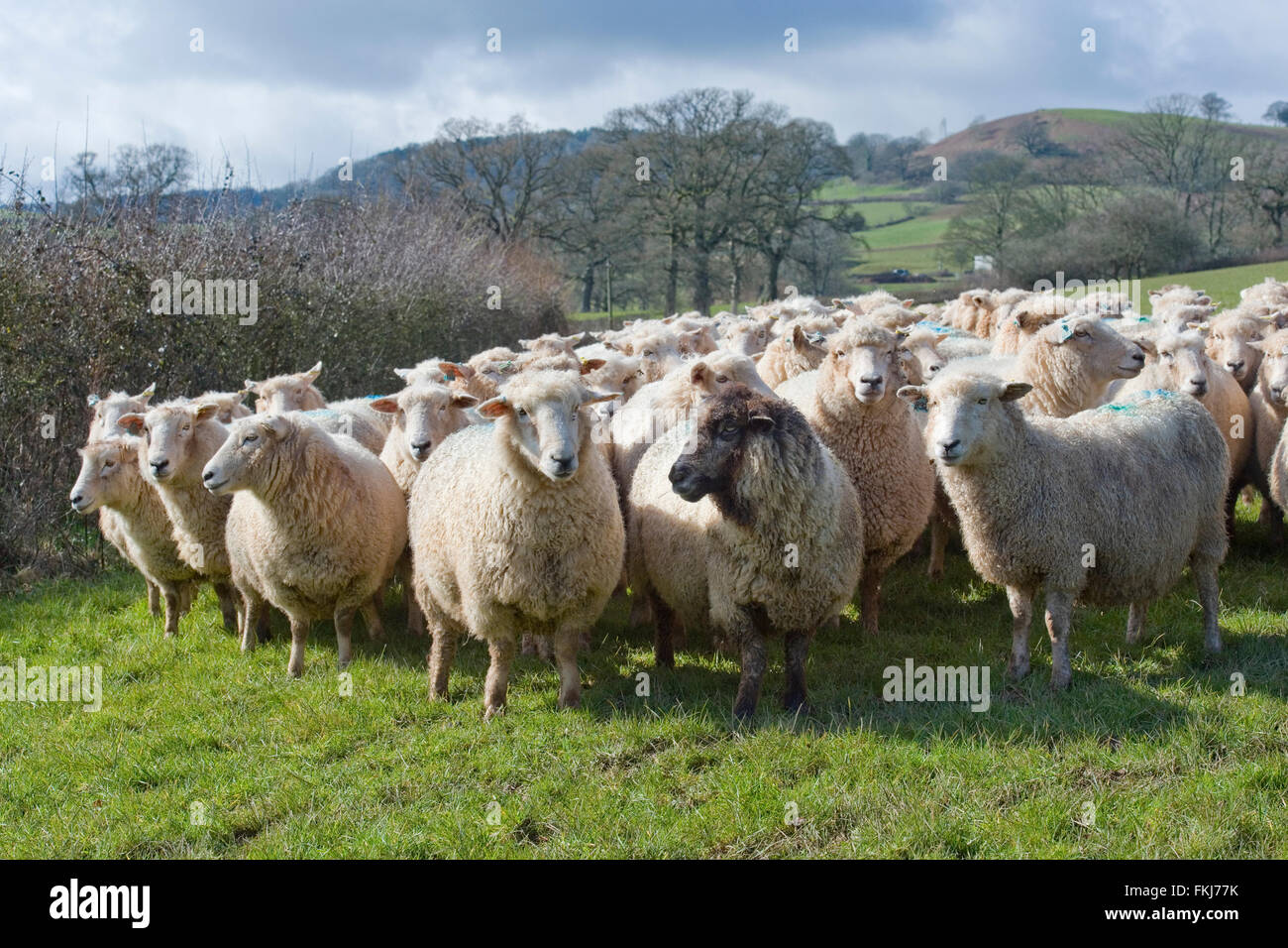 flock of sheep close up - Stock Image