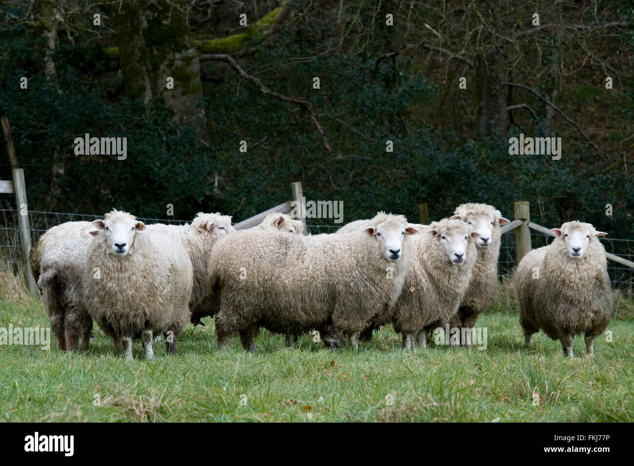 romney sheep - Stock Image