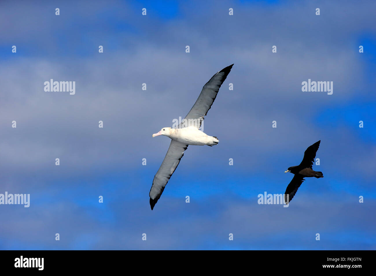 Wandering Albatross, followed by White-Chinned Petrel, Cape of the Good Hope, South Africa, Africa / (Diomedea exulans) - Stock Image