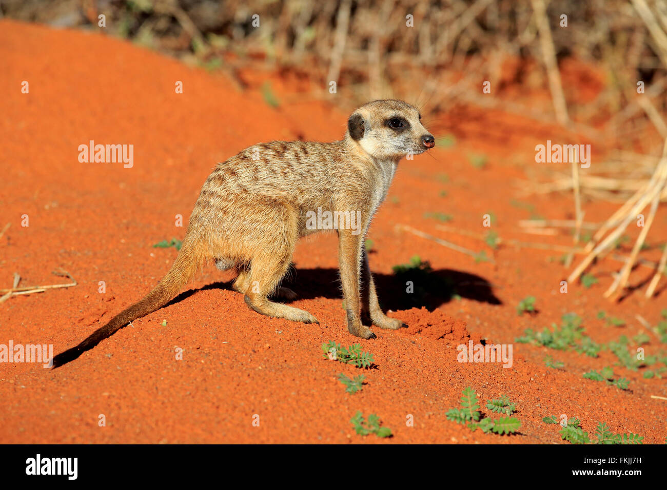Suricate, adult warming up at den in morning sun, alert, Tswalu Game Reserve, Kalahari, Northern Cape, South Africa, - Stock Image