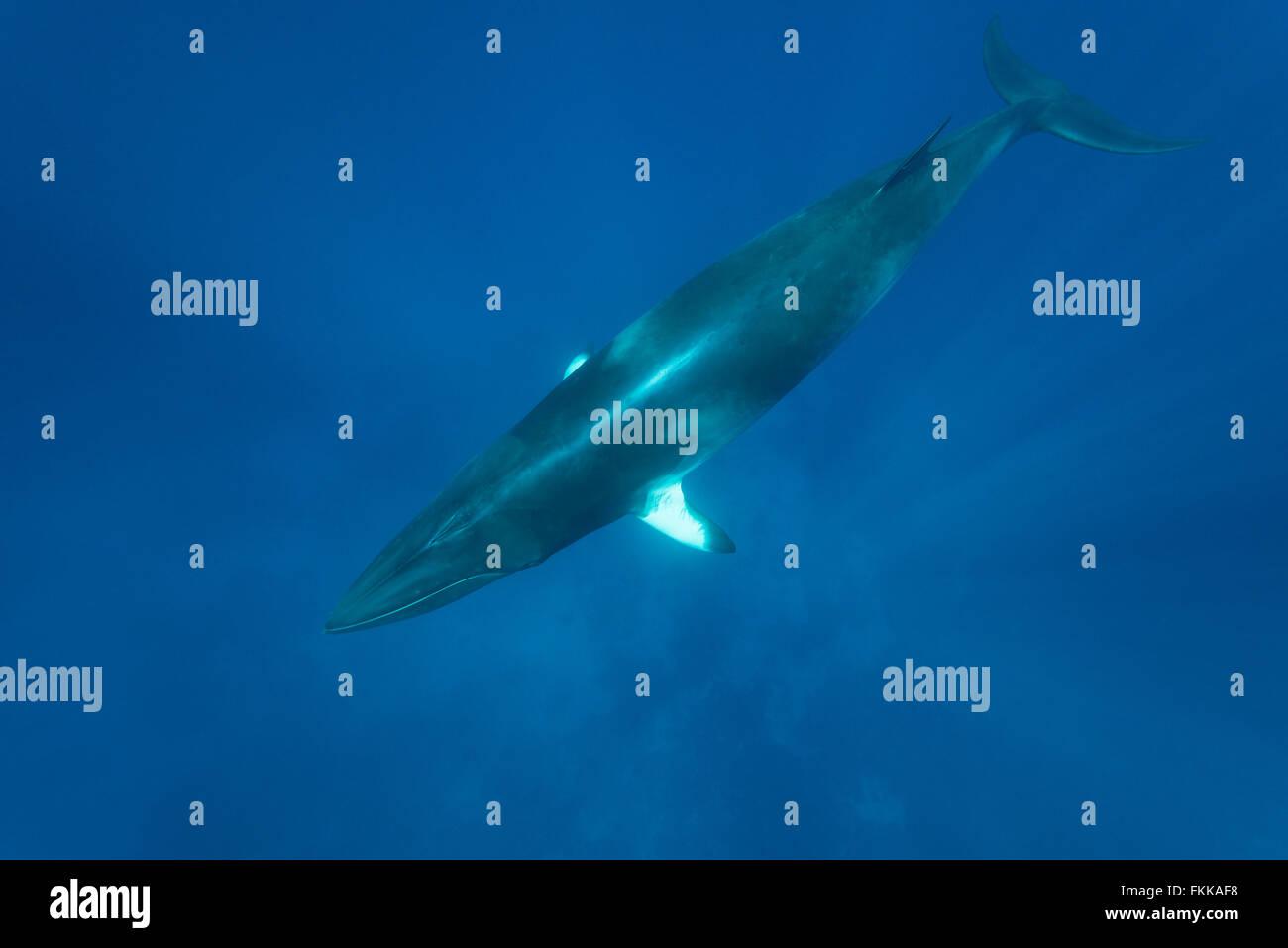 Dwarf minke whale (Balaenoptera acutorostrata) in the blue wintering waters of the Great Barrier Reef. - Stock Image