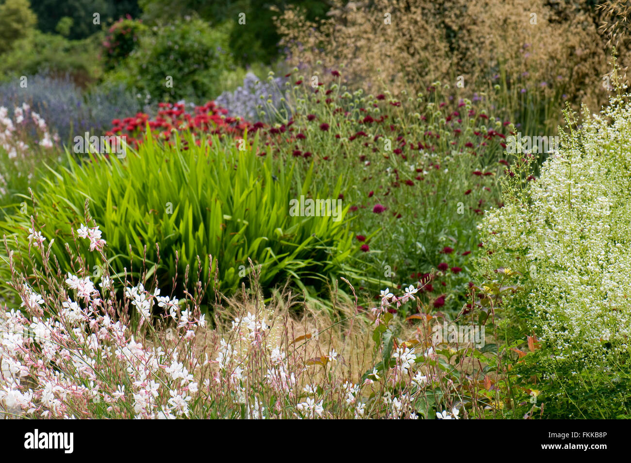 Mixe herbaceous border including Gaura lindheimeri 'Whirling Butterflies', Thalictrum delavayi 'Album', - Stock Image