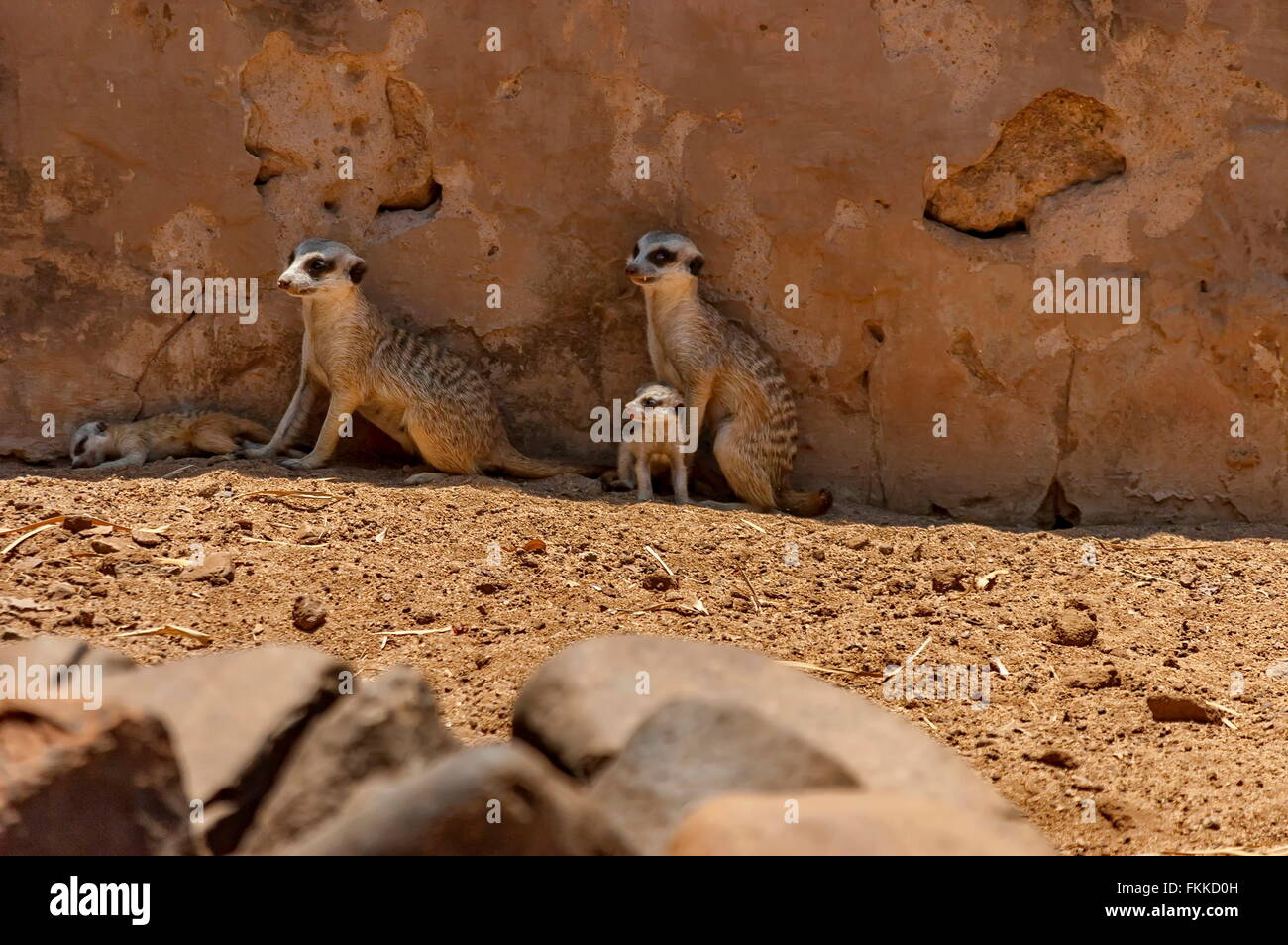 Suricate/Meerkat in Kwena Garden, Sun City, South Africa Stock Photo