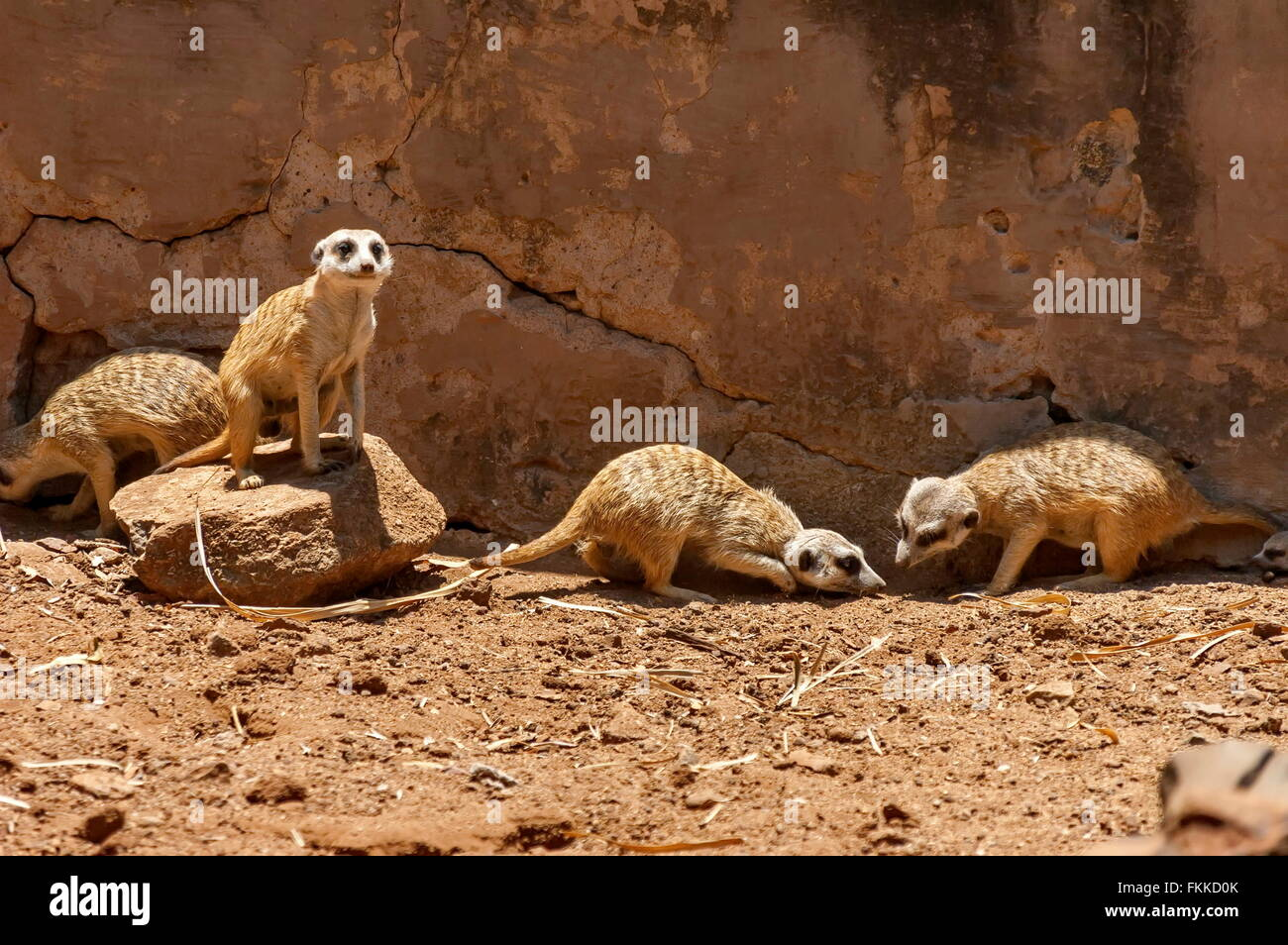 Suricate/Meerkat in Kwena Garden, Sun City, South Africa Stock Photo