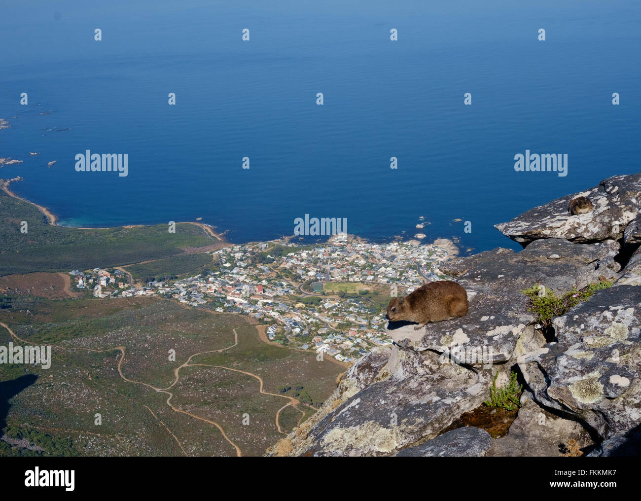 Dassie or Rock Hyrax on table mountain, Cape Town, overlooking the coast and Atlantic Ocean - Stock Image