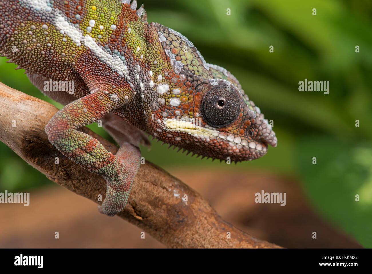 Panther Chameleon (Furcifer pardalis) Controlled, studio - Stock Image