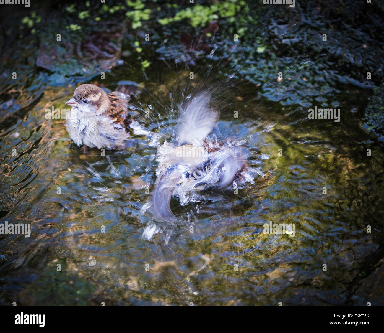 House sparrows bathing in English garden stream Stock Photo