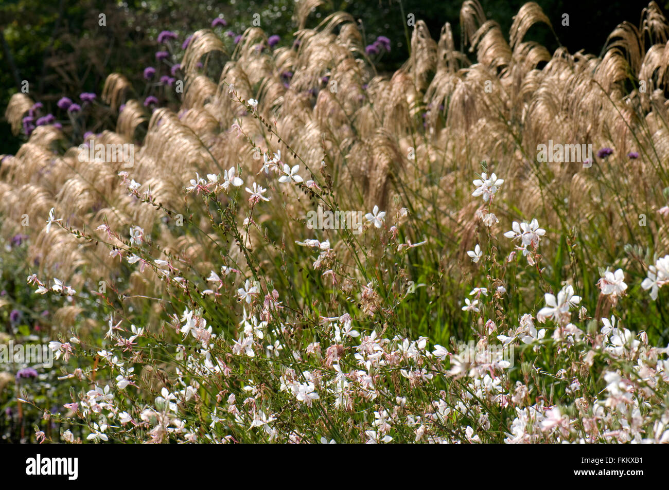 Gaura lindheimeri 'Whirling Butterflies' with Miscanthus nepalensis. Sir Harold Hillier Gardens, Romsey, UK. Stock Photo
