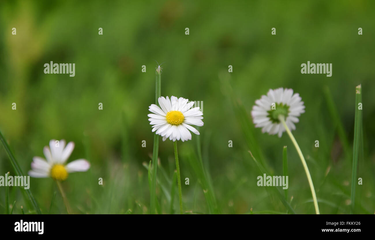 nice daisy captured whit nikon d5300 - Stock Image