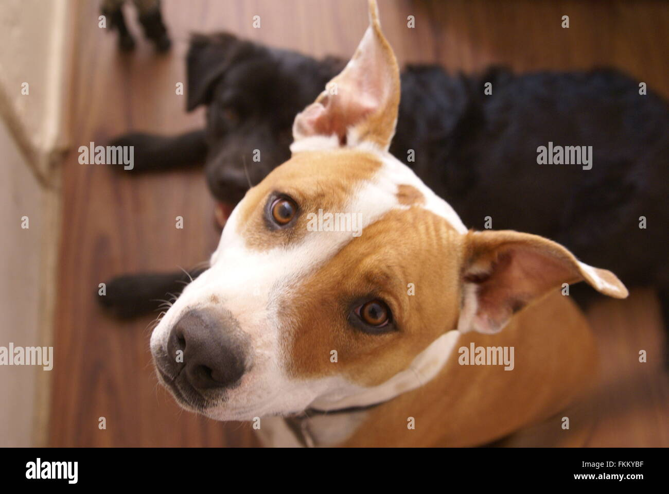 Young American Pit Bull Terrier mix dog looks inquisitively at camera, with a smaller black dog in the background. - Stock Image
