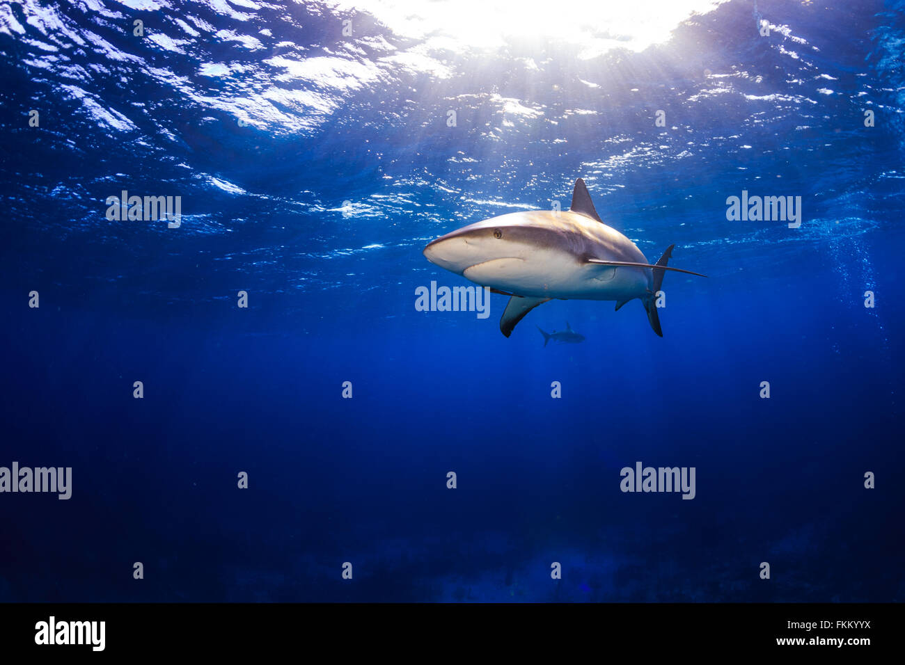 Caribbean reef shark swimming under the surface with sunbeams and a sunburst in Bahamas - Stock Image