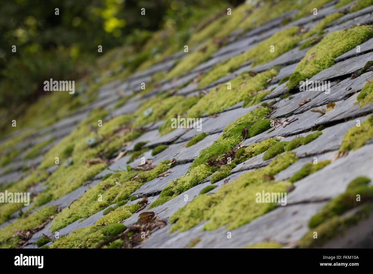 Green moss on slate roof tiles - Stock Image