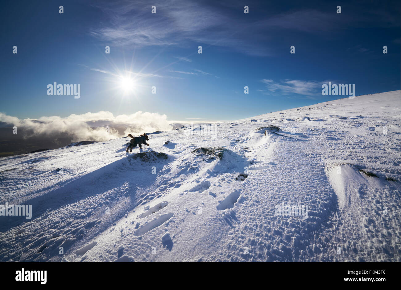 A dog running towards the summit of Geal-charn Mor, Cairngorms in the Scottish Highlands, UK. - Stock Image