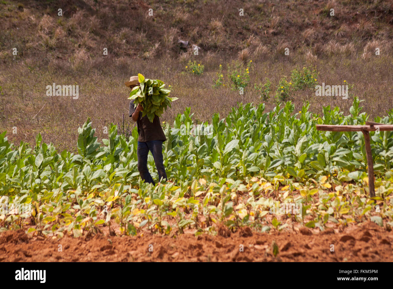 Daily life in Cuba - Picking tobacco leaves at Vinales, Pinar del Rio Province, Cuba, West Indies - Stock Image