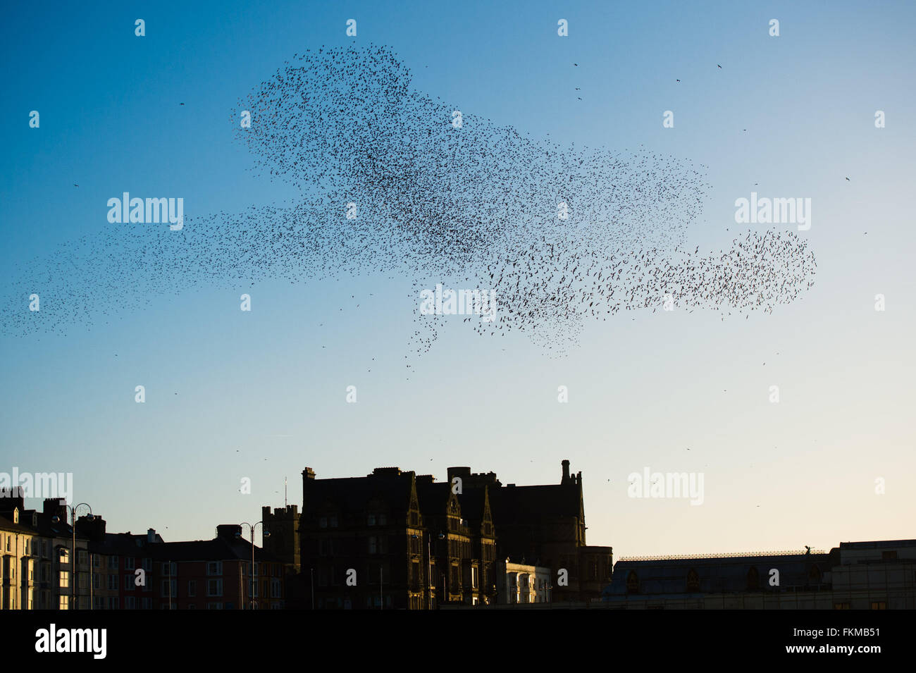Aberystwyth, Wales, UK. 9th March, 2016.   UK weather: As the sun sets, flocks of thousands of tiny starlings fly Stock Photo