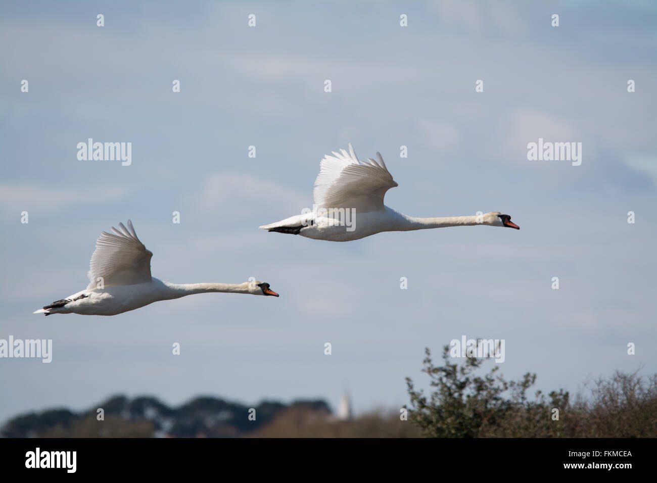 Two mute swans (Cygnus olor) in flight at Lymington - Keyhaven Nature Reserve in Hampshire, England - Stock Image