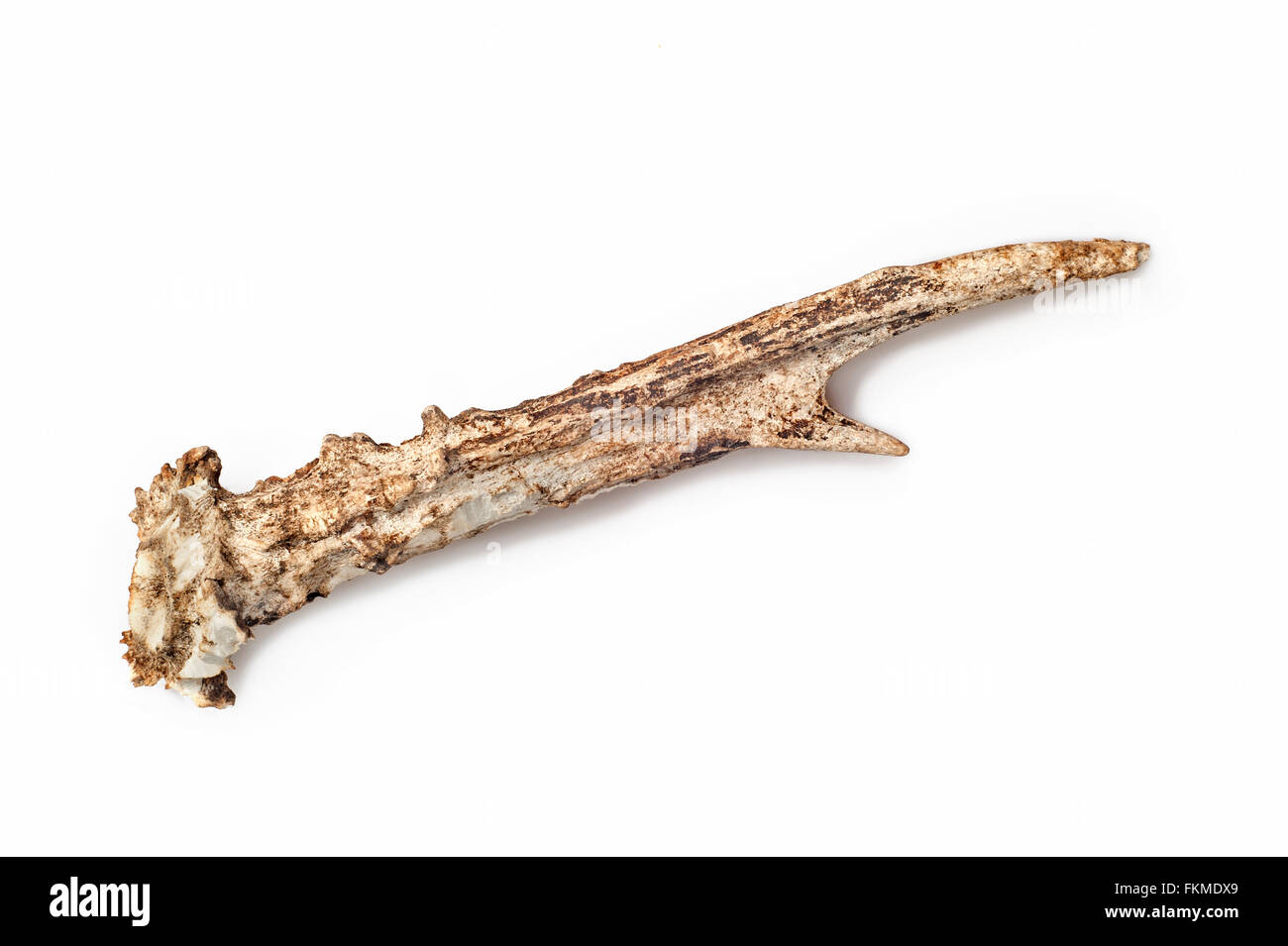 Shed antler of roe deer showing teeth marks and gnawed upon by mice, squirrels and other rodents for minerals and - Stock Image