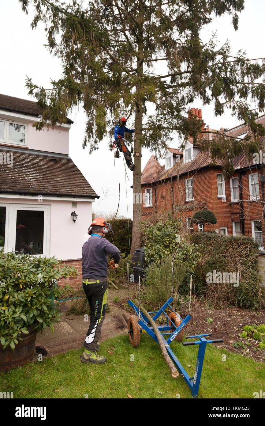 Tree surgeons at work cutting down a tree, Suffolk UK - Stock Image