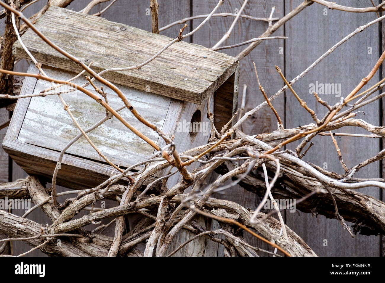 The tangled vines of a Trumpet Vine before leaves emerge in the spring.  A wooden birdhouse nestled within. - Stock Image