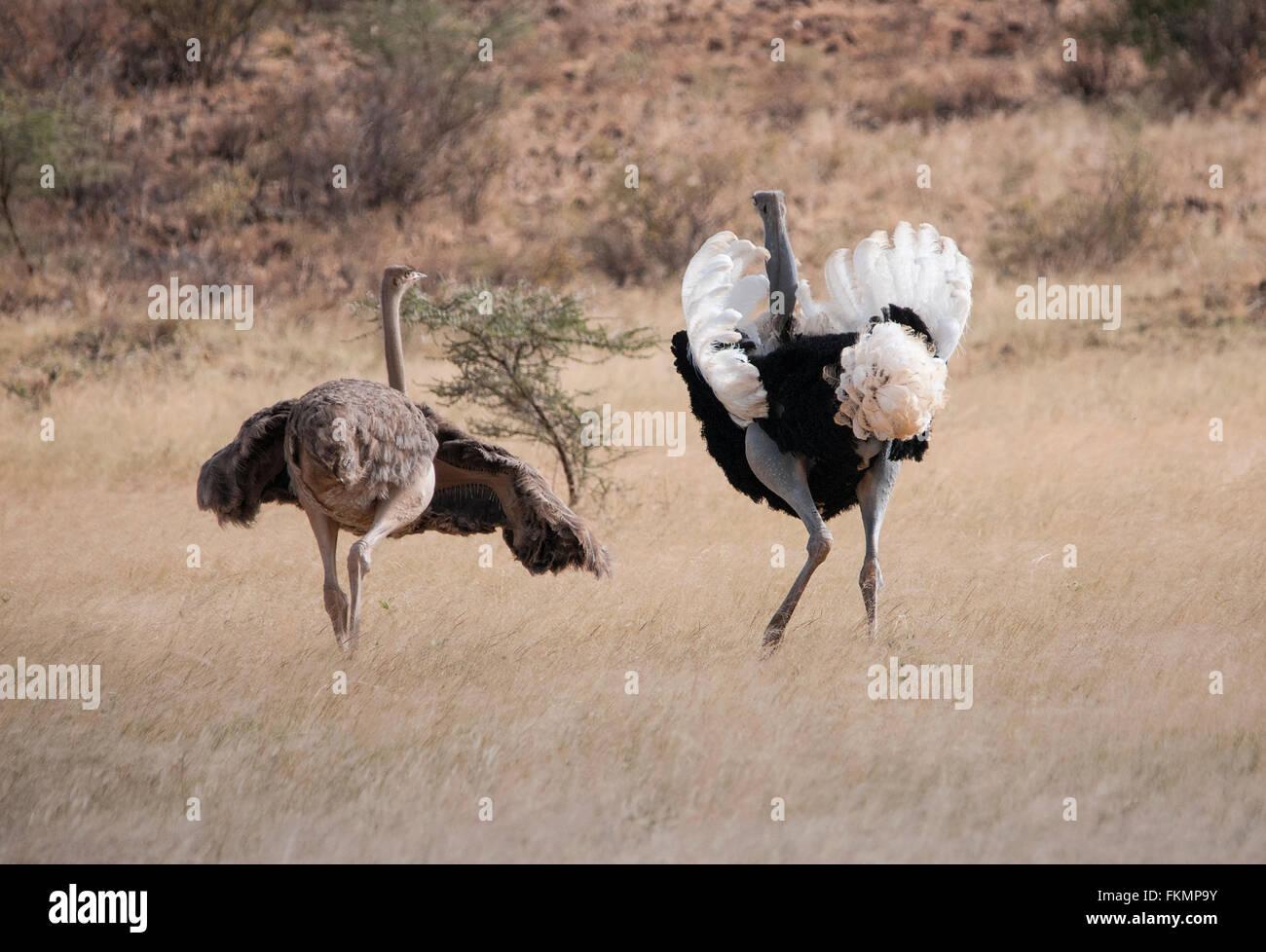 Male and Female Somali Ostrich (Struthio camelus molybdophanes) displaying courtship behaviour, Samburu, Kenya, - Stock Image
