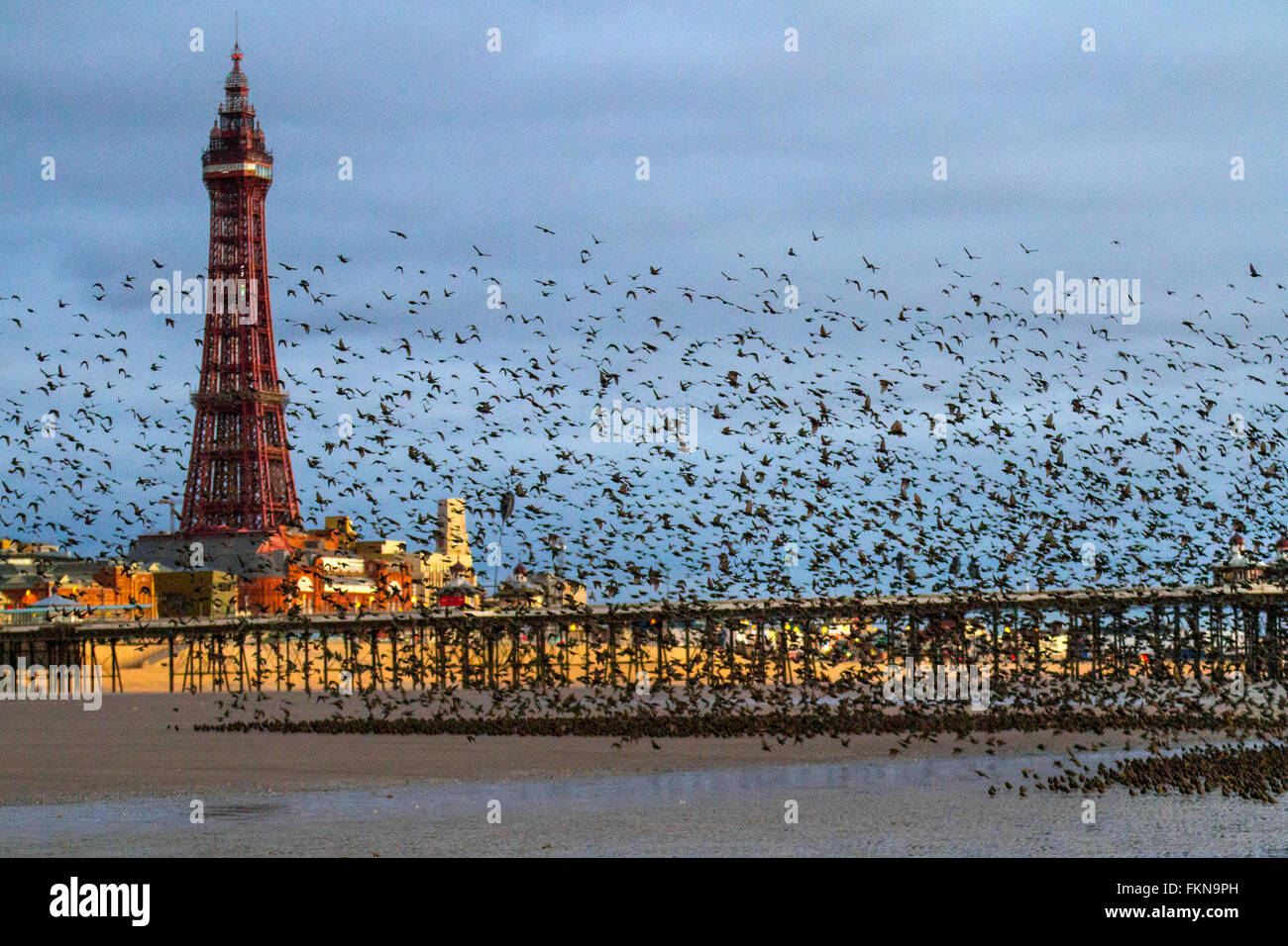 Birds in Flight, flying in the clouds flocks of Starlings at Blackpool, Lancashire, UK. Starling murmuration at - Stock Image