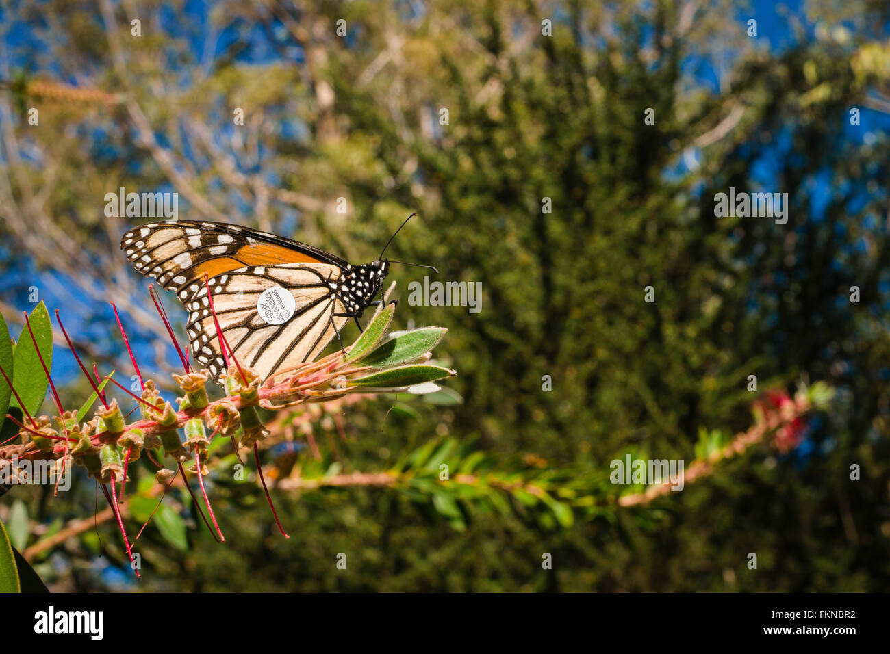 A tagged Monarch Butterfly as part of a migration tracking program in California, USA - Stock Image