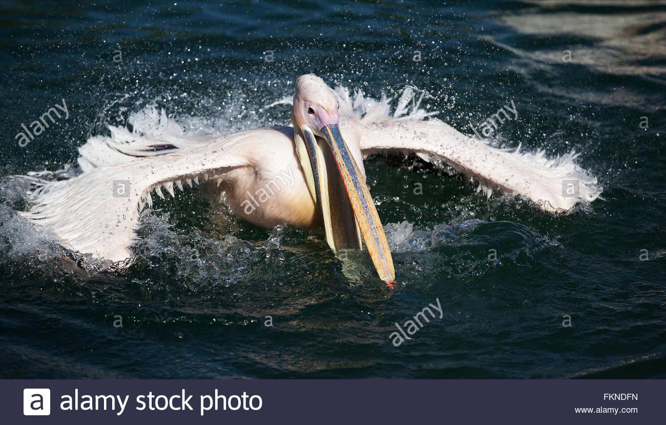 pelican landing on water - Stock Image