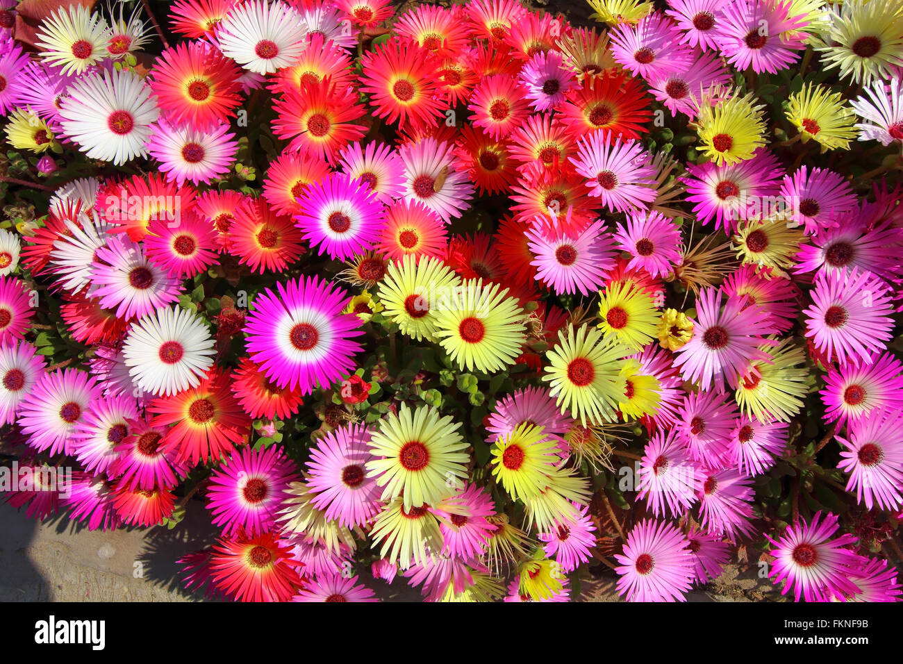 Beautiful Floral Background Of Pink Lemon Orange White And Red Mesembryanthemum Or Livingstone Daisy Plants In Full Flower
