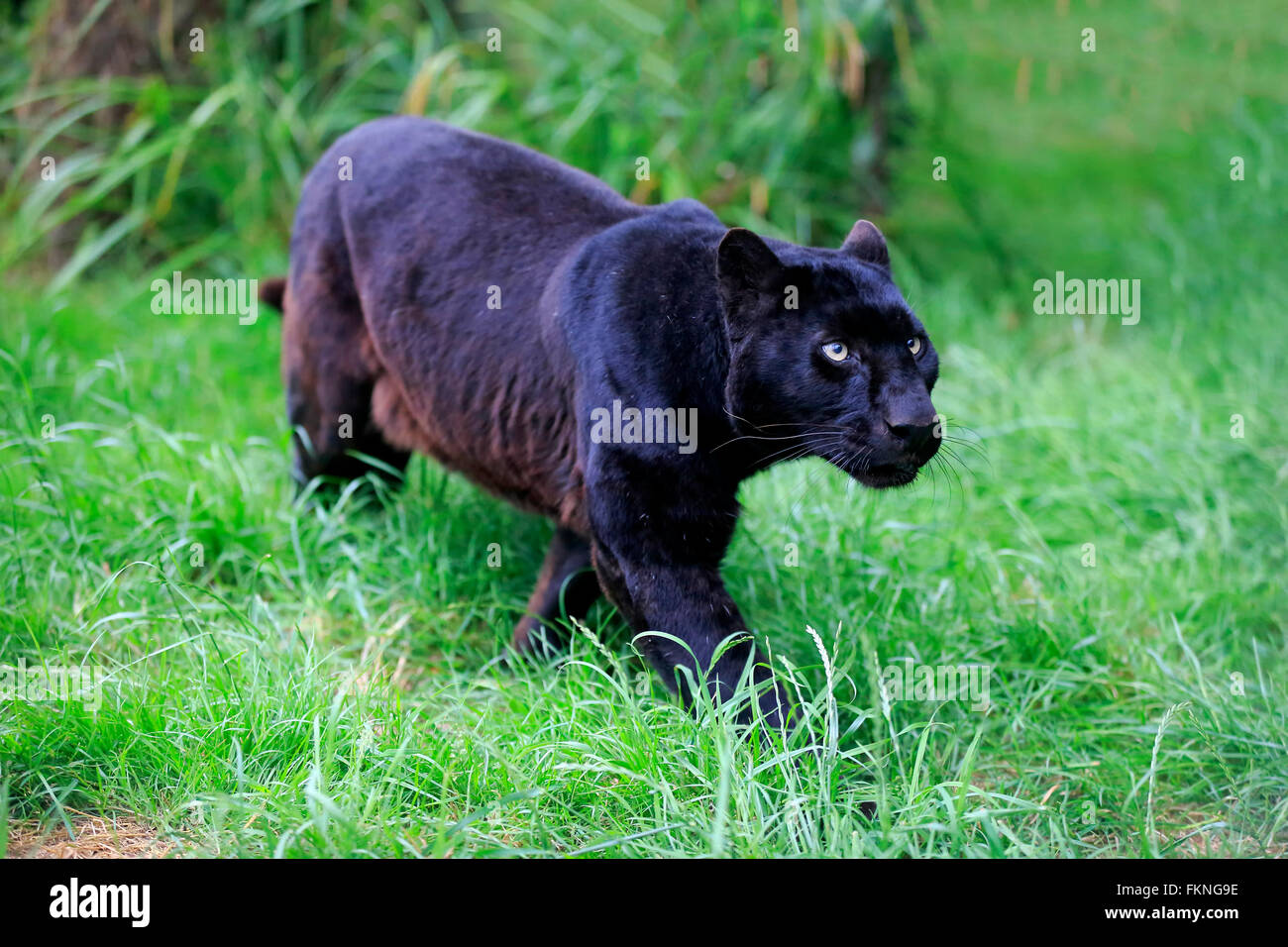 Leopard, black panther, Africa / (Panthera pardus) - Stock Image
