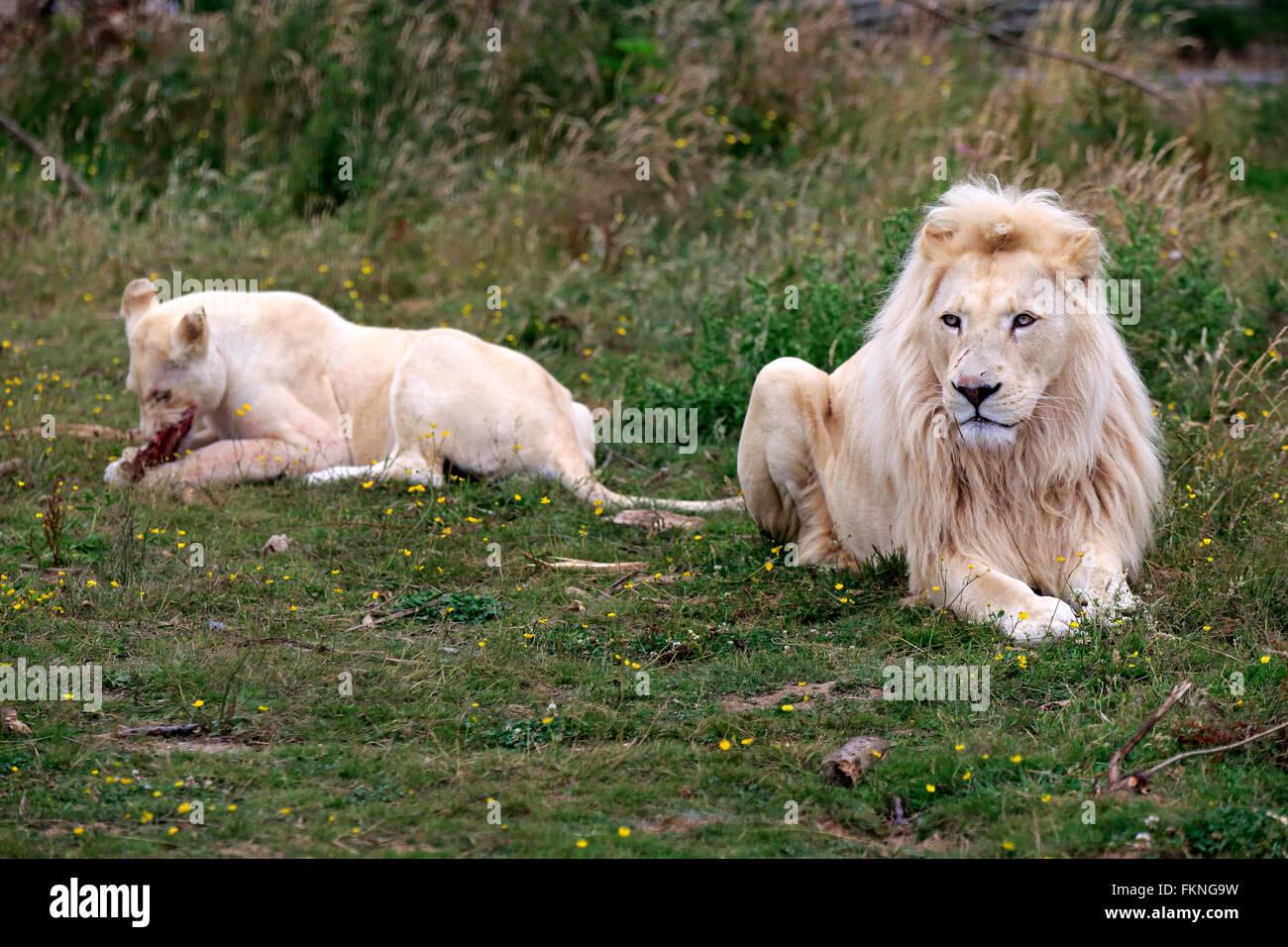 Lion, White Form, Africa / (Panthera leo) Stock Photo