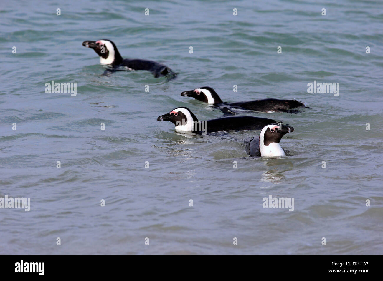 Jackass Penguin, Boulders Beach, Simonstown, Western Cape, South Africa, Africa / (Spheniscus demersus) - Stock Image