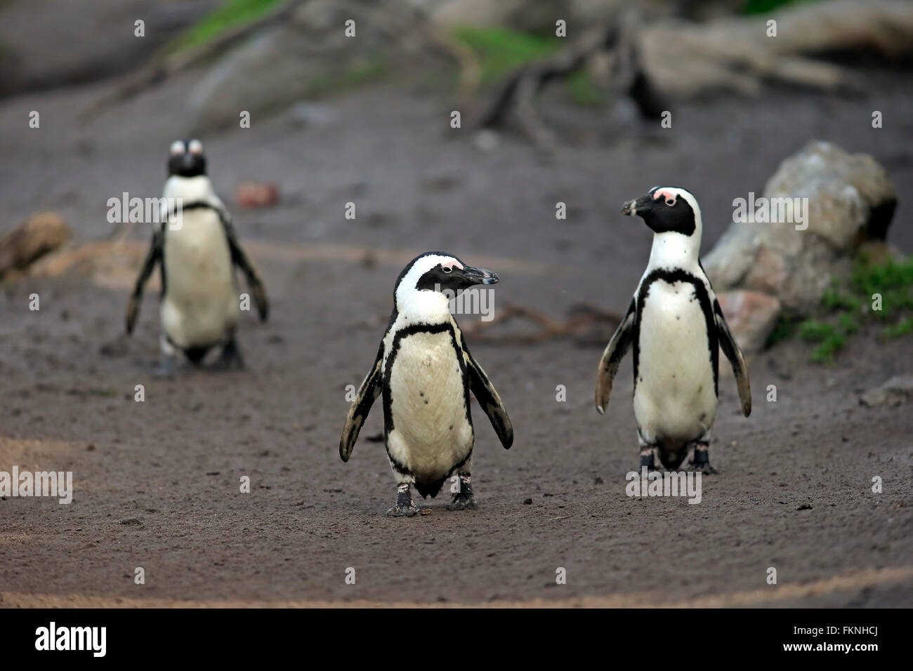 Jackass Penguin, Stony Point, Betty's Bay, Western Cape, South Africa, Africa / (Spheniscus demersus) - Stock Image