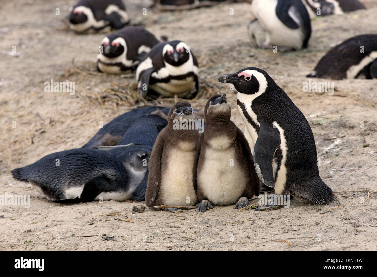 Jackass Penguin with youngs, Boulders Beach, Simonstown, Western Cape, South Africa, Africa / (Spheniscus demersus) - Stock Image