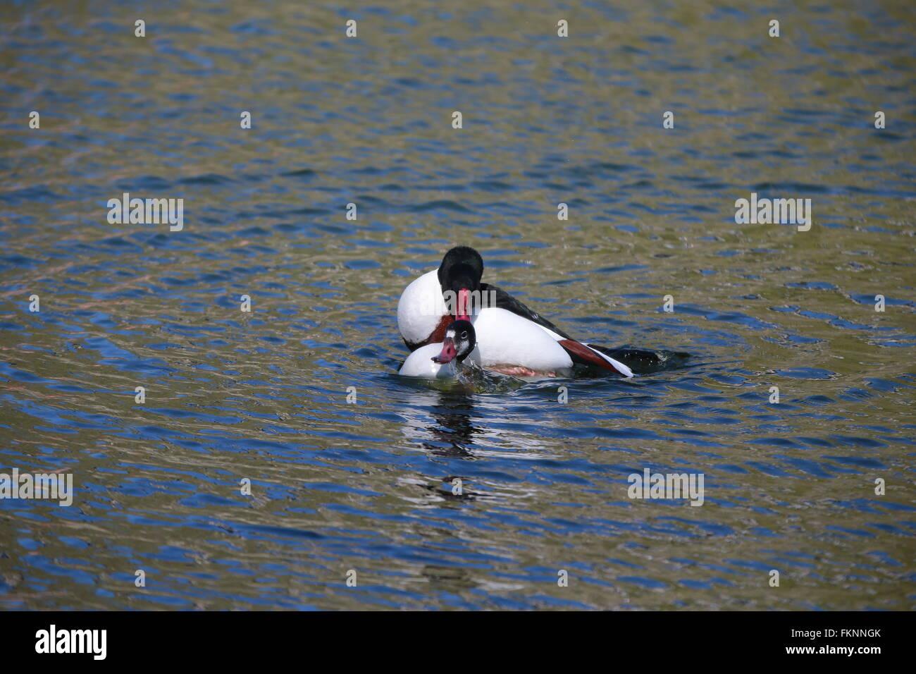 Wild goose flying (tadorna tadorna) - Stock Image