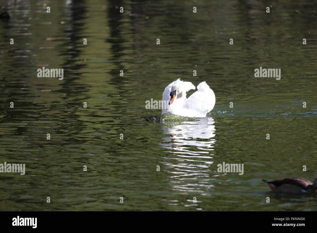 mute swan (Cygnus olor), attacks - Stock Image