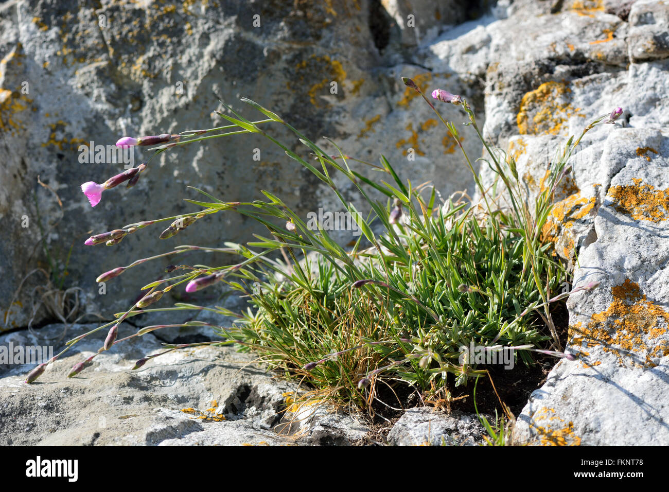 Cheddar pink (Dianthus gratianopolitanus) plant on rock. Very rare plant in the family Caryophyllaceae, on rocky Stock Photo