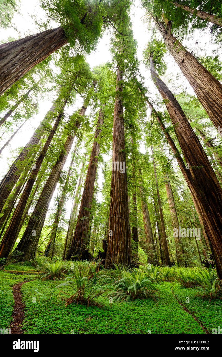 Clover covered trails through the giant redwoods at Jedediah Smith State Park in Northern California, USA. Stock Photo