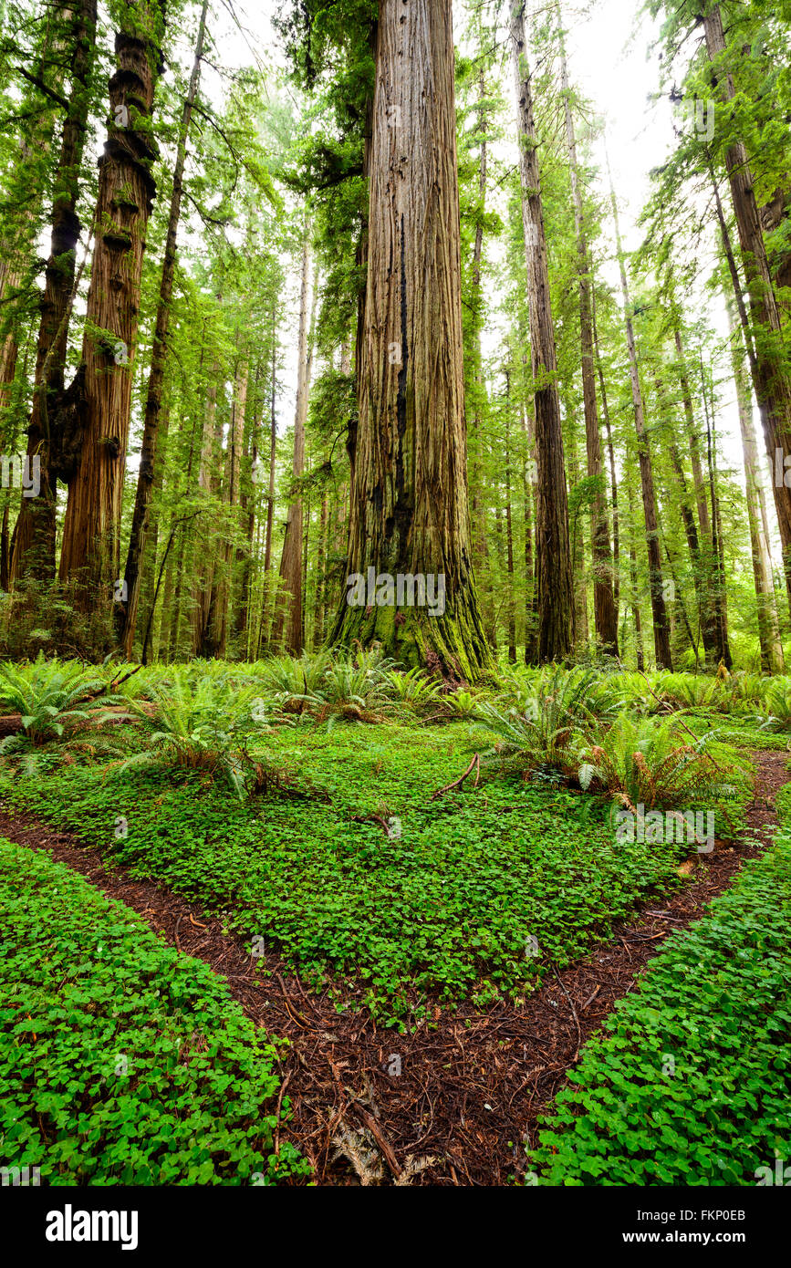 Clover covered trails through the giant redwoods at Jedediah Smith State Park in Northern California, USA. - Stock Image